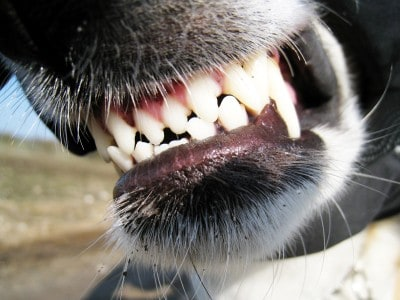 Close up on a snarling dog